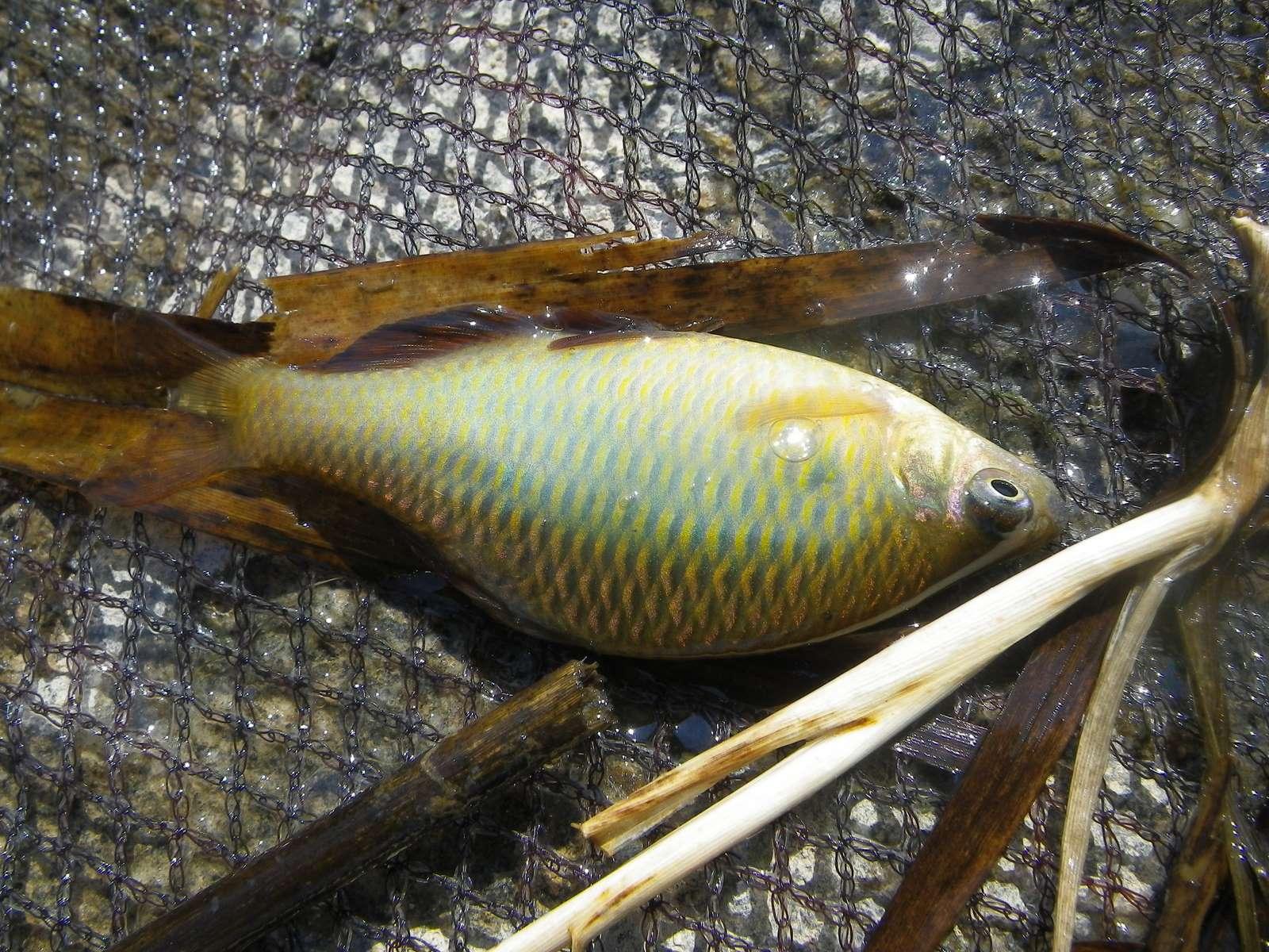 칼납자루(カルラプジャールー 和名コウライポテ Acheilognathus koreensis → Tanakia koreensis)