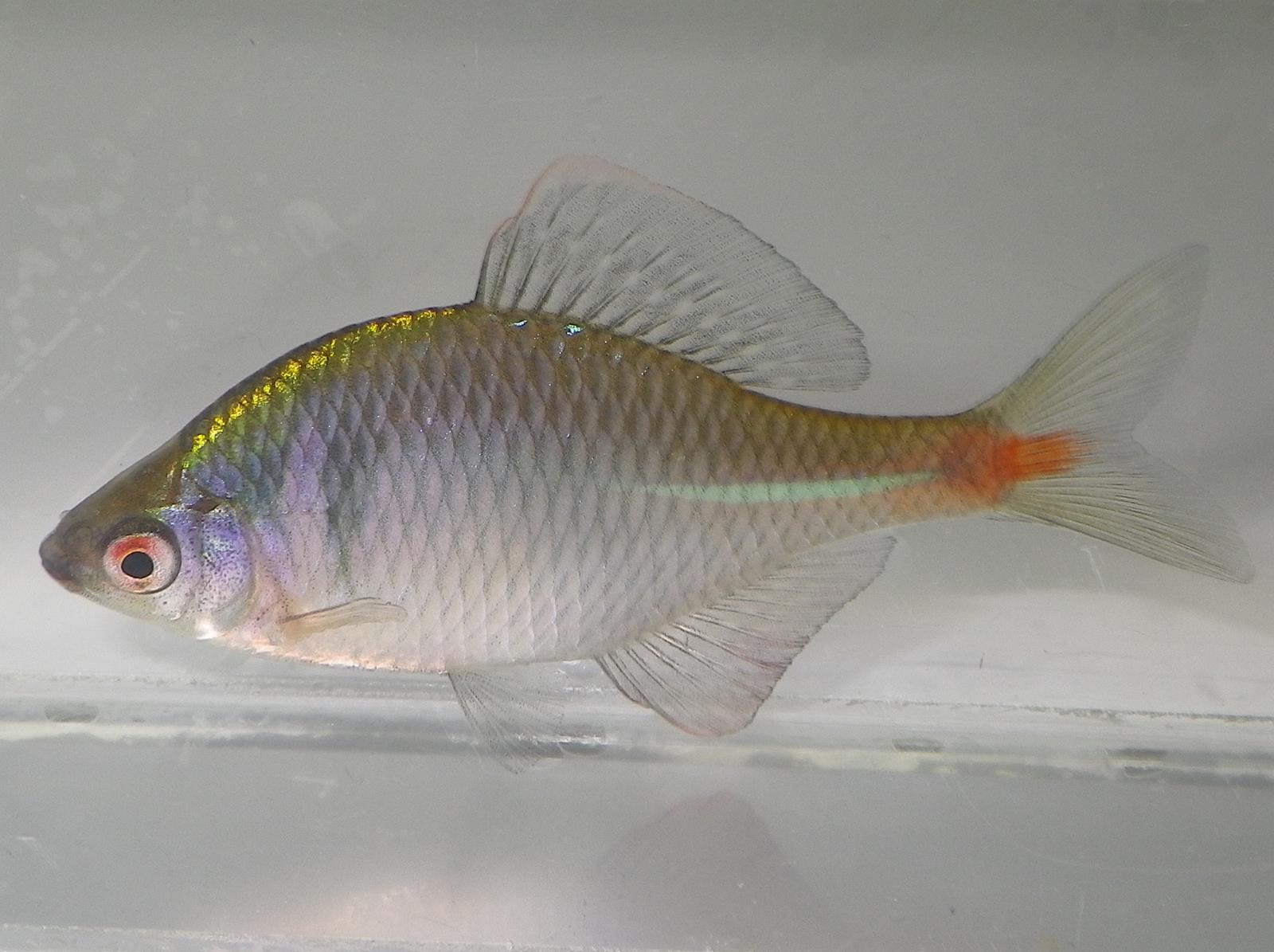 흰줄납줄개(フィンジュルナプジュルゲェ 和名タイリクバラタナゴ Rhodeus ocellatus ocellatus)