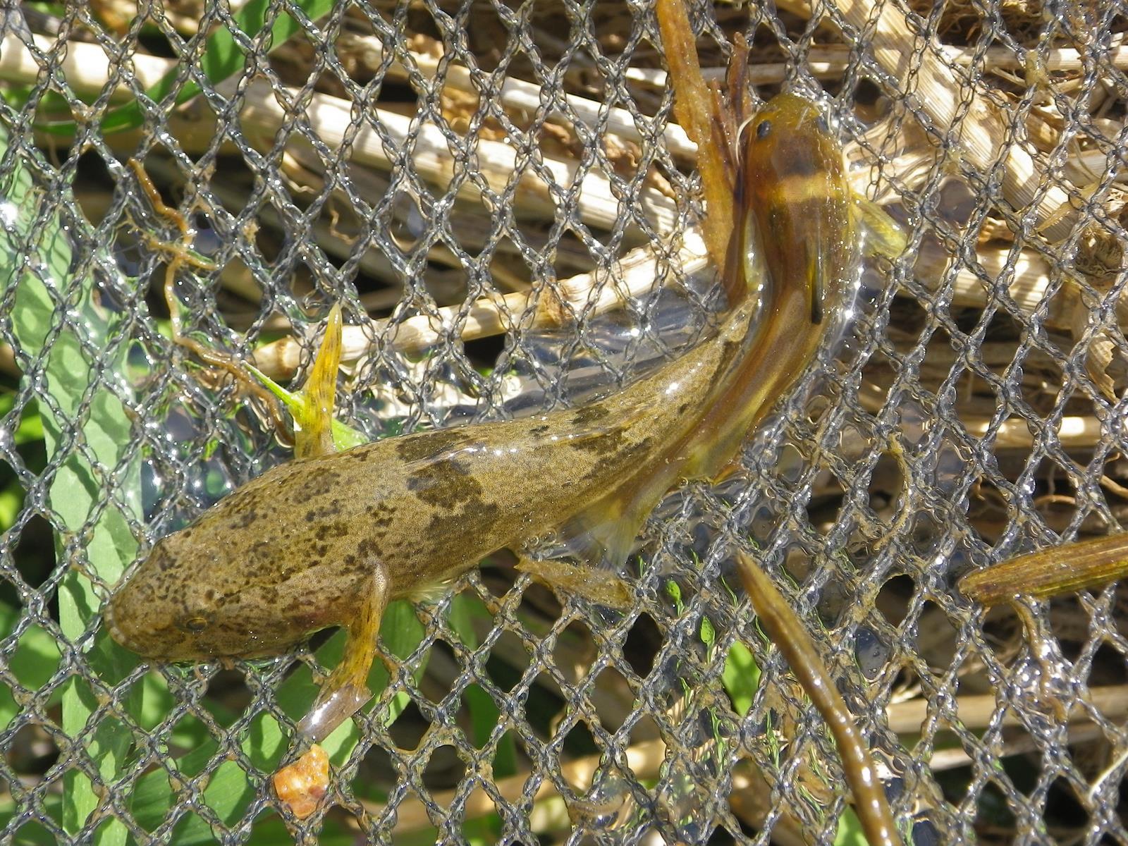 얼룩동사리(オルルクドンサリ 和名セマダラドンコ Odontobutis interrupta)