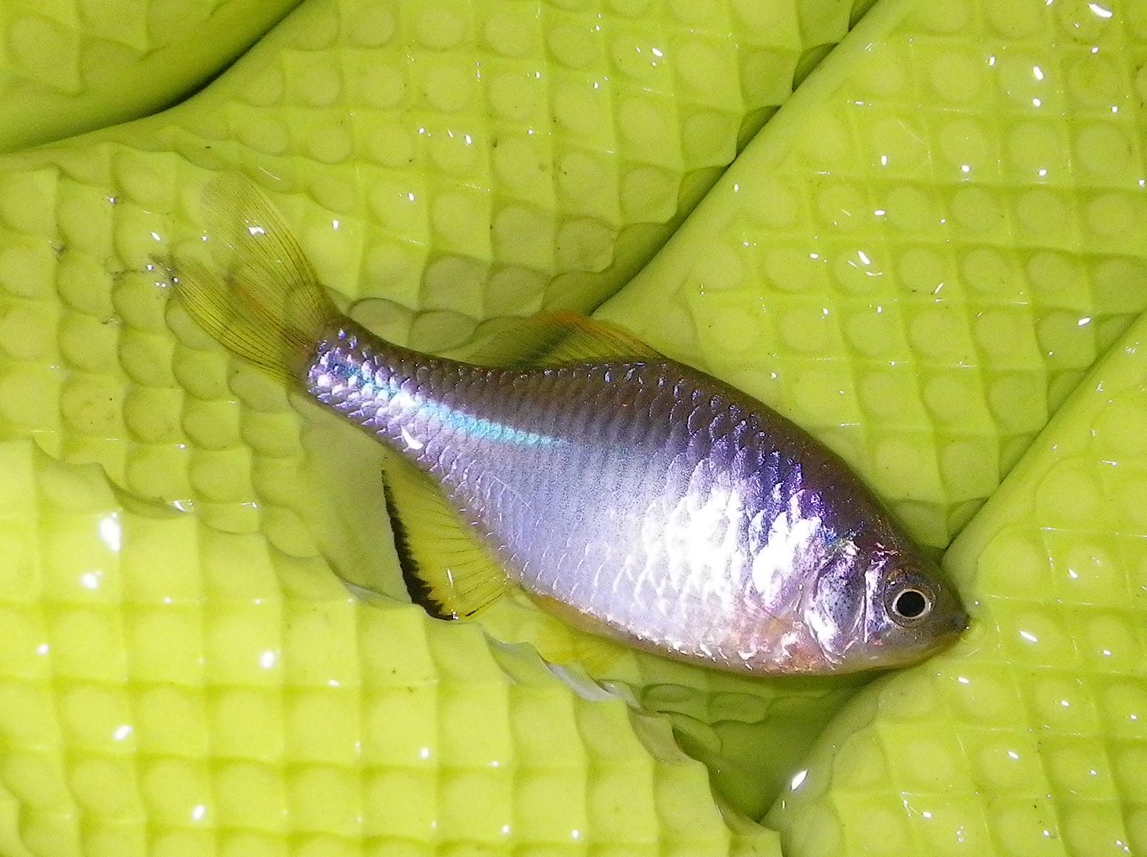 각시붕어(カクシブンオ 和名ウエキゼニタナゴ カラバラタナゴ Rhodeus uyekii → Rhodeus sinensis)