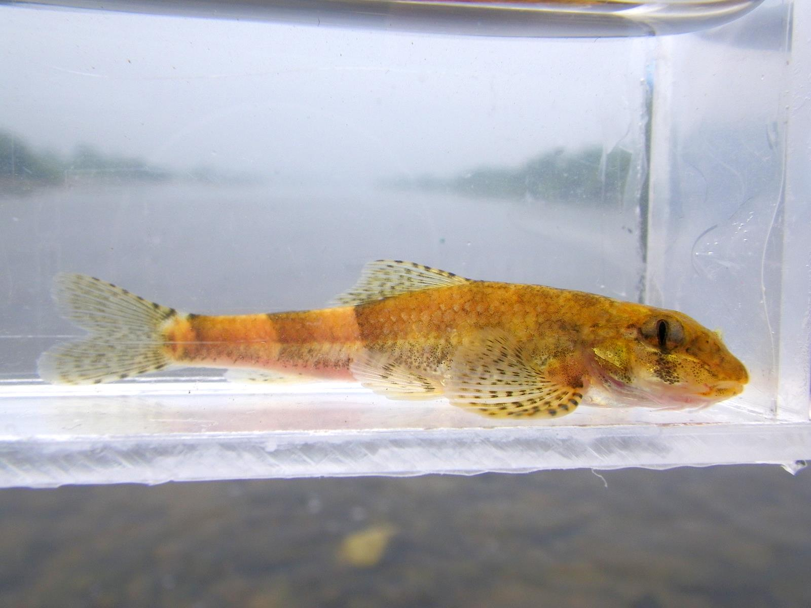 꾸구리(ックグリ 和名ズナガドジョウカマツカ Gobiobotia macrocephala)