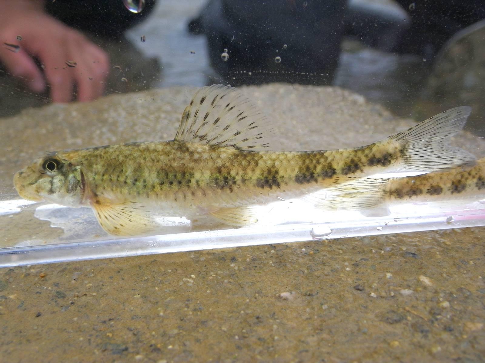 배가사리(ベガサリ 和名ホタテコブクロカマツカ Microphysogobio longidorsalis)