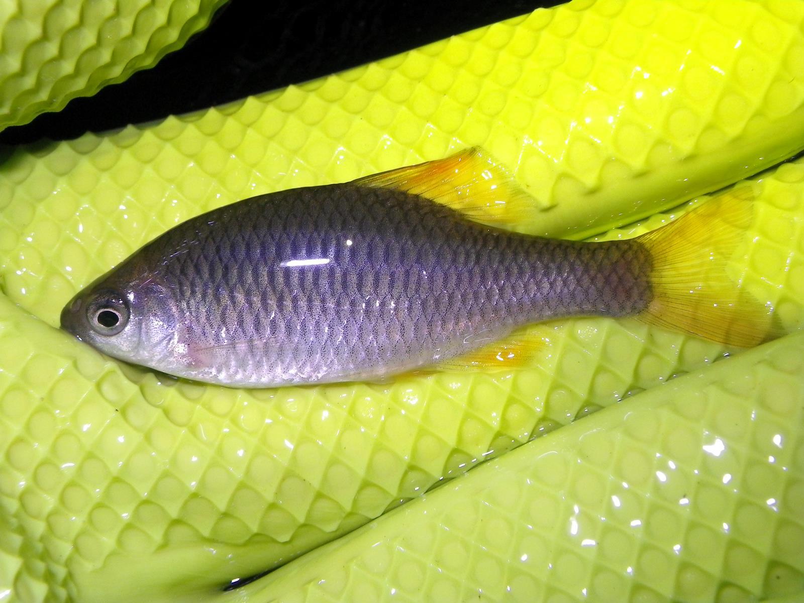 묵납자루(ムンナプジャールー 和名チョウセンボテ Acheilognathus signifer → Tanakia signifer)
