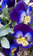 青紫パンジー