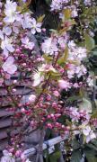 サンリヤン桜