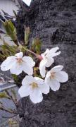 桜0327
