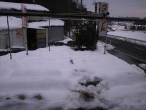 白菜・大根の雪中保存1