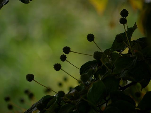 ヤマボウシの実