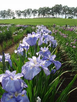 花しょうぶ2011-001