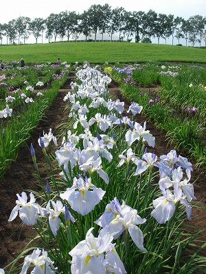 花しょうぶ2011-002
