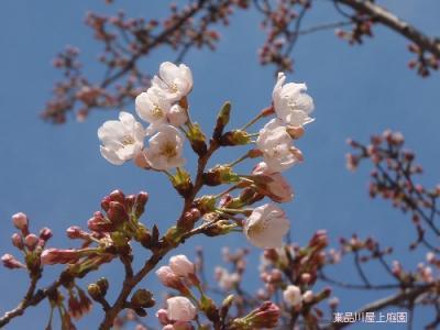 sakura1_20100327161941.jpg
