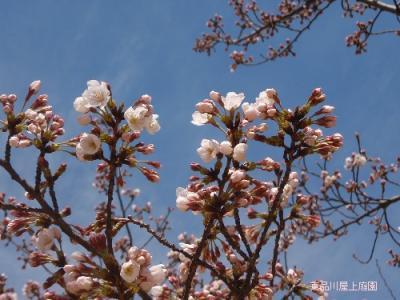 sakura2_20100327162130.jpg