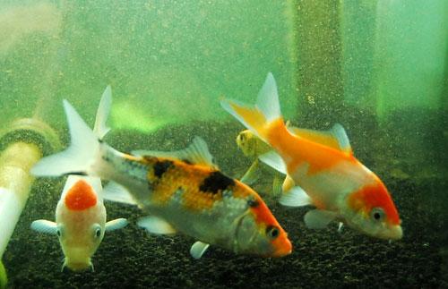錦鯉 稚魚 008 HIRO
