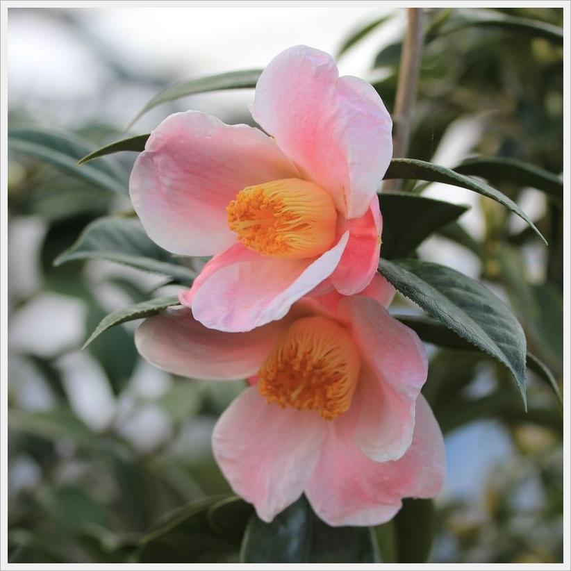 ■SB12'I月7日DFC_132椿の西王母の茶花