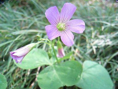 ムラサキカタバミ季節の花300