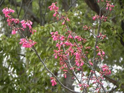 航空公園桜