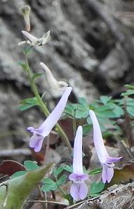 ジロウボーエンゴグサ