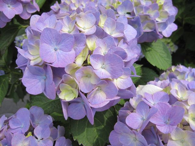 6月なので紫陽花なんていかがかしら?