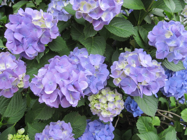 紫色の紫陽花たち 朝