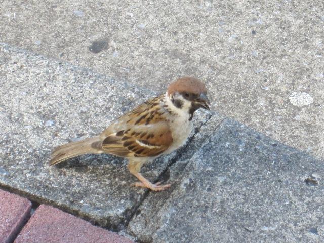 巣立ったばかりの雀2