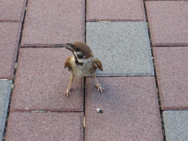 巣立ったばかりの雀