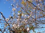秋の桜901