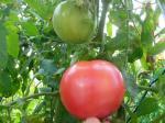 トマト09110903