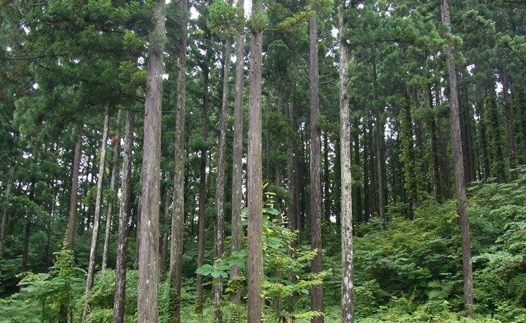 小沼を囲む鬱蒼とした杉林