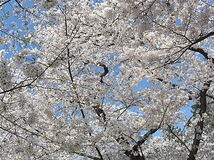 弘前公園 さくらまつり(2011年) 桜のトンネル-2