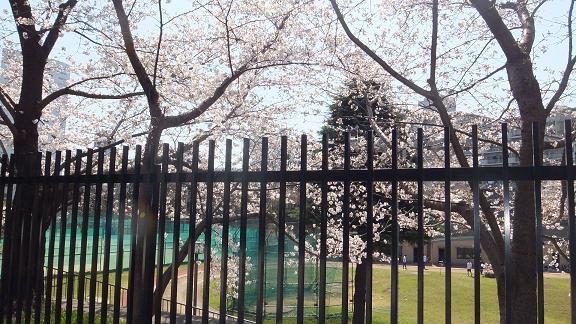 桜 3月22日