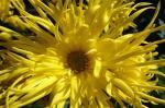我が家の嵯峨菊