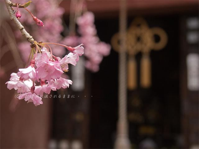 2012年 毘沙門堂・桜2