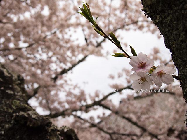 2012年 毘沙門堂・桜3
