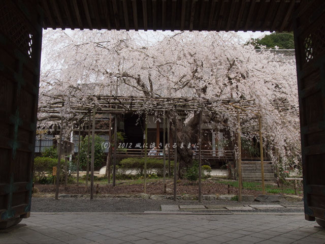 2012年 毘沙門堂・桜4