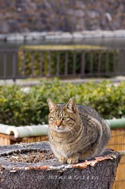 2013年 大阪城梅園の猫2