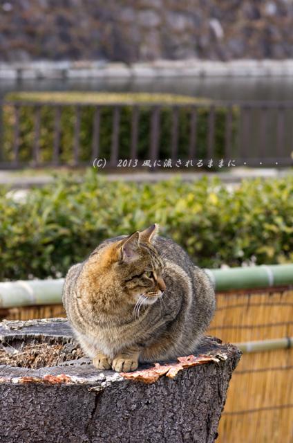 2013年 大阪城梅園の猫3