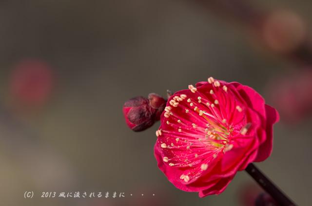 2013年 大阪城梅園 鹿児島紅(かごしまこう)1
