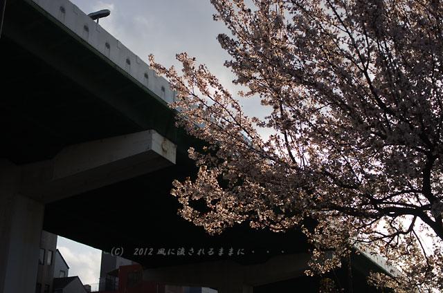 大阪城 ベニバスモモ2