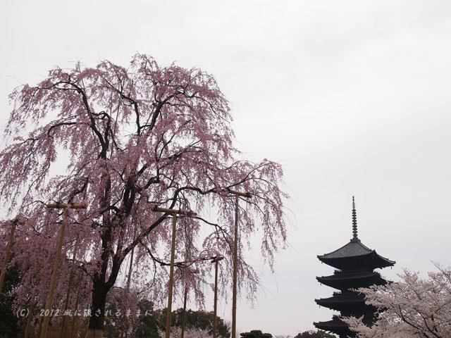 京都・東寺 五重塔としだれ桜3