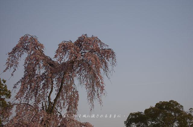 2012年 四天王寺の桜2