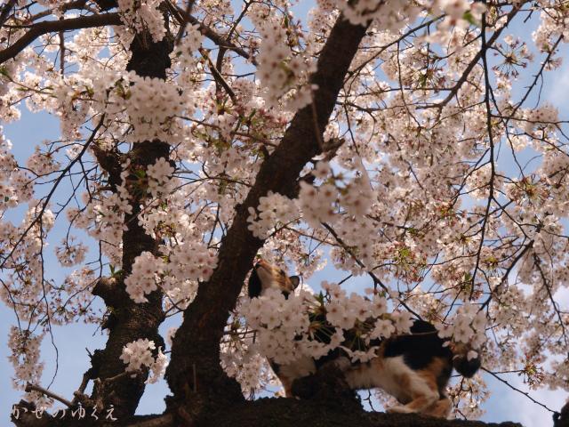春猫桜(九)