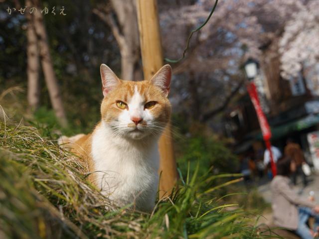 春猫桜(七)