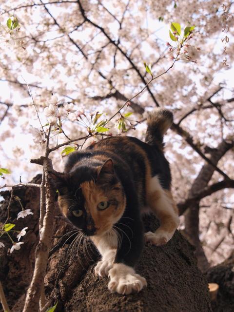 春猫桜(六)