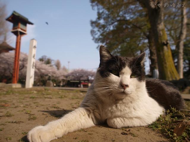 春猫桜(八)