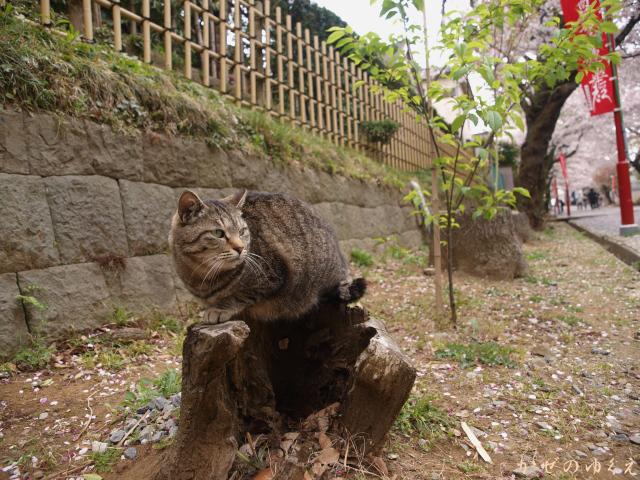 春猫桜(四)