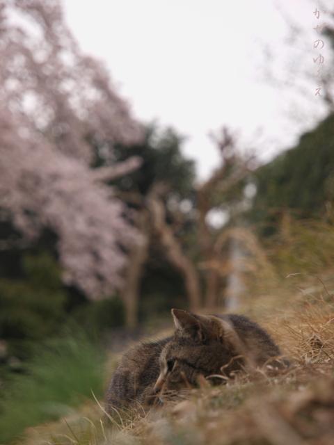 春猫桜(伍)