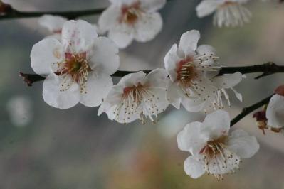古民家の梅の花拡大