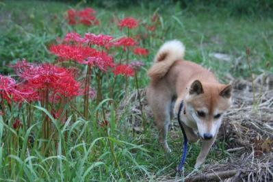 彼岸花と柴犬