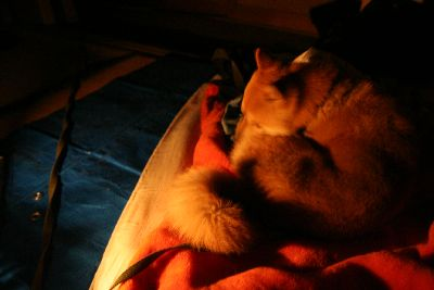 ランプ下の柴犬