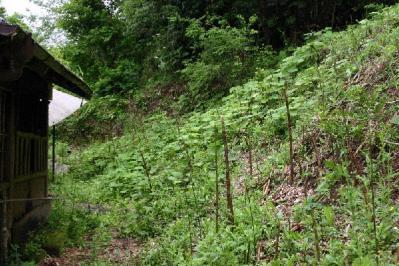 裏山に竹にょきにょき